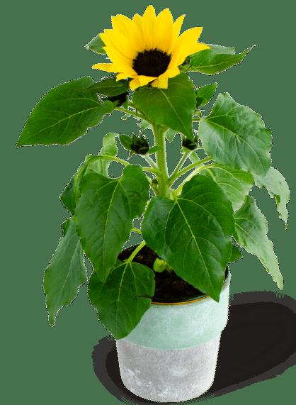 beterschap wensen zonnebloem plant - cadeau voor opa