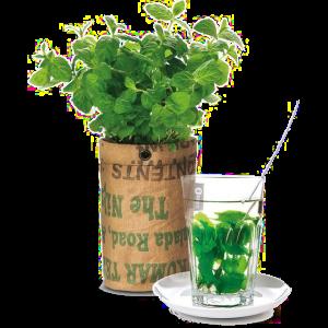 theekruiden kweken - zelf thee maken
